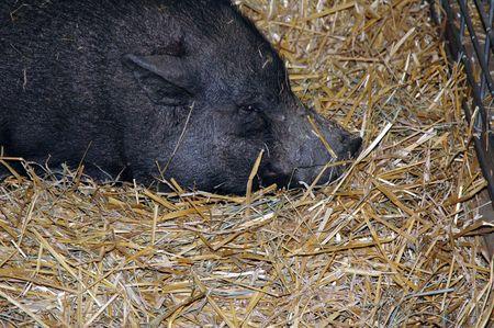 Sleepy Hog