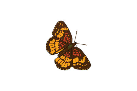 Small brown and orange opened winged butterfly. 向量圖像