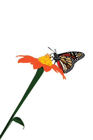 Monarch butterfly on a flower collecting pollen.
