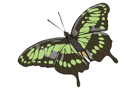 Drawing of an opened winged green butterfly Illustration