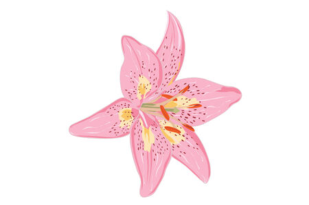 Drawing of a pink lillie flower.