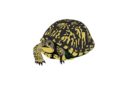 Drawing of a box or paint turtle