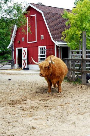 Bull in pen in front of barn. 版權商用圖片