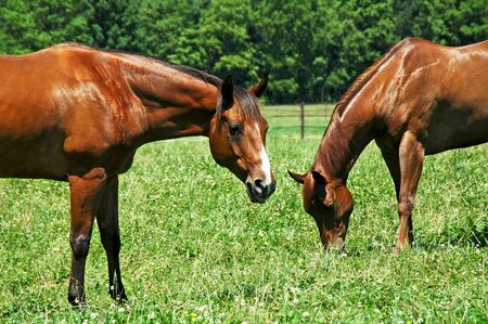 Horses grazing in the pasture. photo