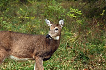 Large doe in the woods.
