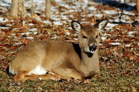 Young deer laying down resting. 版權商用圖片