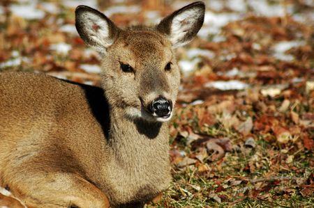 Young deer chewing its dinner.