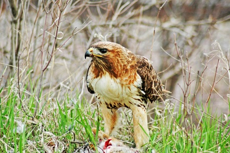 Red-tailed hawk eating rabbit for dinner.