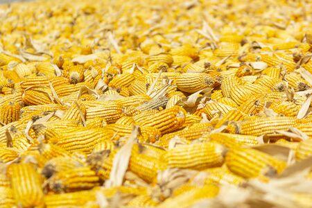 Corn cultivate organic food agriculture 写真素材