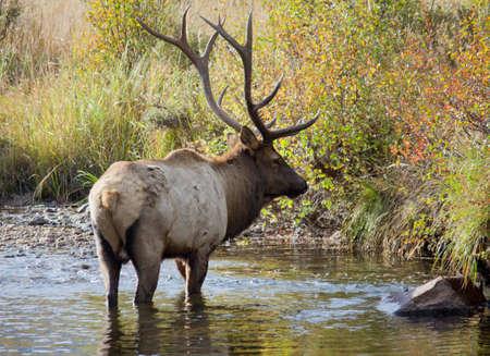 Bull Elk in stream in Rocky Mountain National Park Stock Photo - 12997546