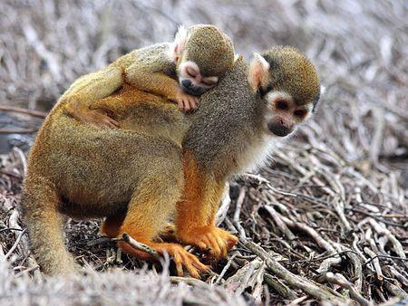 jeune: Jeune singeecureuil dormant sur le dos de sa mere