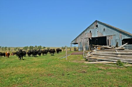 rickety: A herd of beef stand next to a steel sided rickety barn and pile of old discarded lumber