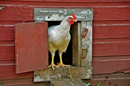 Chicken leaving the hen house