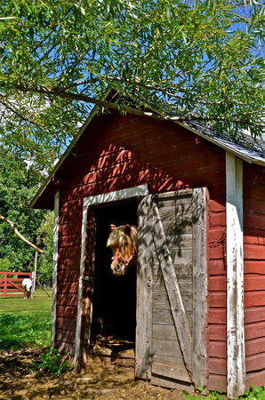 Pony with bangs in doorway of a red shed