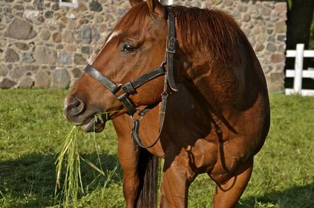Beautiful Horse Chewing Grass Imagens