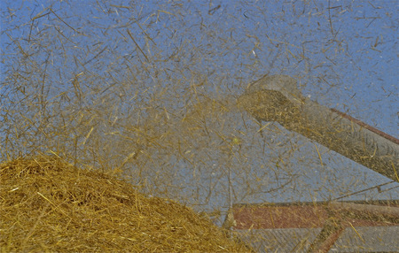 threshing: The straw is in the air as the blower pipe of a threshing machine extracts.