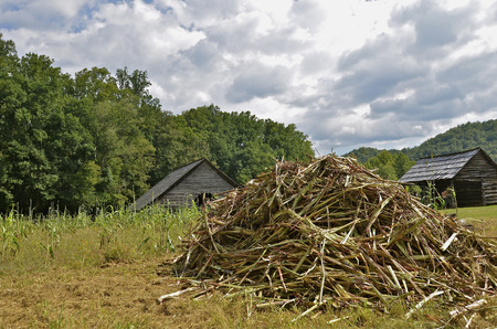 A pile of straggly corn stalks appear in front of two old weathered barnes