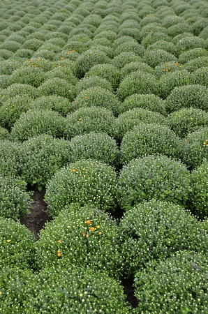 horticulturist: Rows of mums in a garden are in the first stage of blooming