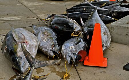 outdoorsman: Huge tuna left on dock after a fishing expedition into the ocean