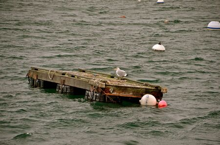 rowboats: A lone seagulls rides a raft surrounded by lobster buoys Stock Photo