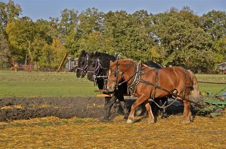 leveler: Team of three horses pulling plow in field