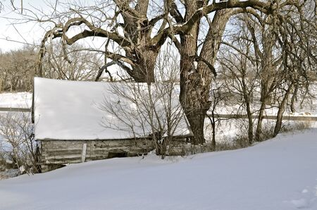 cottonwood tree: A log cabin with a sagging roof under huge cottonwood trees are covered with snow