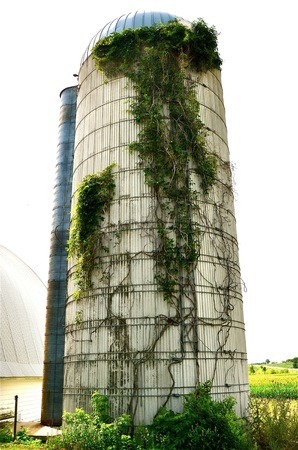 Vines grow up the side of a silo on a dairy farm photo