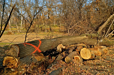 treed: A tree marked with a red X has been cut so it can be removed from the treed area due to being infected with the Dutch Elm disease.