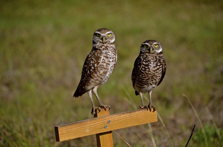 burrowing: A pair of burrowing owls sit on a perch