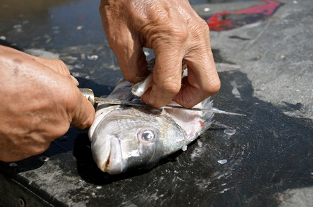 filleting: A fisherman uses  sharp filleting knife is used to clean a fish