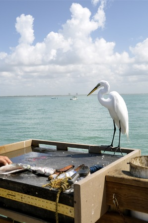 skinning: An egret watches the process of filleting a fish