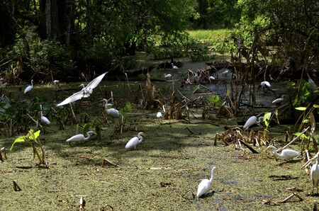 wade: A flock of great egrets wade in a swampy march