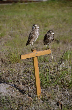 burrowing: A pair of  burrowing owls are standing on a perch in their nesting area Stock Photo