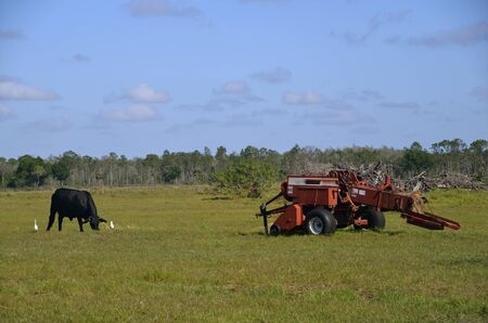 baler: Black cow, white, birds, and a baler share a filed and pasture area Stock Photo