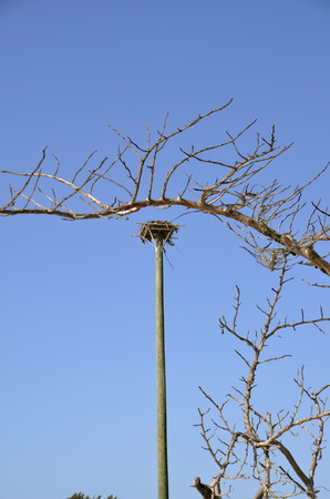 metal pole: An osprey nest is on top of a tall metal pole framed by leafless branches