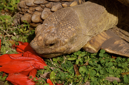 land turtle: A land turtle or tortoise eats on red flower petals