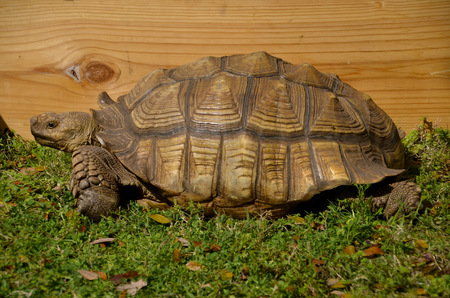 locomotion: A turtle or tortoise slowly walks in the grass Stock Photo
