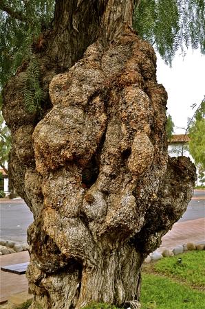 diseased: Diseased three  with huge fungus growth Stock Photo