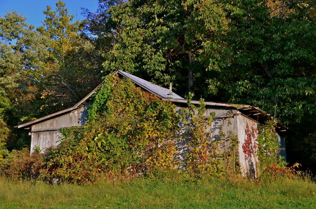 outbuilding: Old shed  covered with autumn colored vines with a backdrop of trees