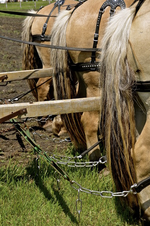 Team of identical work horses are harnessed and hooked to a item of machinery for work in a field.