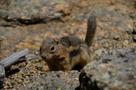 camouflaged: A beautiful ground squirrel is camouflaged in the surrounding rocks and pebbles. focus is only on the head