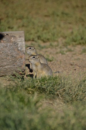 A pair of curious ground squirrels stand outside their burrow Imagens