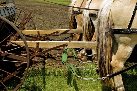 A team of harnessed horses are in the process of pulling a grain drill for seeding oats. Stock Photo