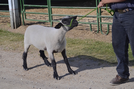judging: A stubborn sheep being led by a young boy for judging at a county fair stubbornly resists. Stock Photo