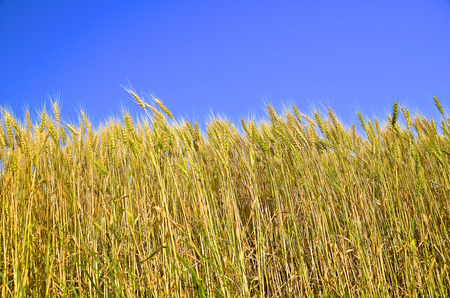 agribusiness: Field of wheat displays a shade of green as it is near harvest time