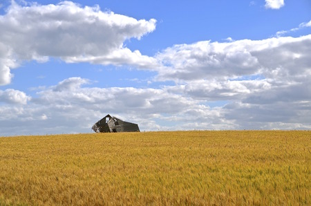 bushel: An old frame of a weathered rickety house is surrounded by a ripe wheat field.