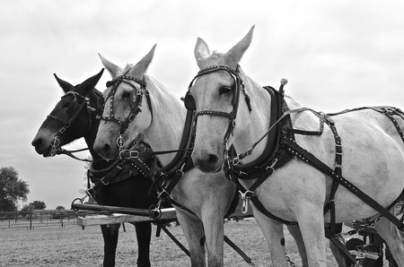 hitched: Harnessed team of three mules hitched up to pull an item of machinery