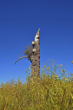 cottonwood tree: A lone damaged cottonwood tree remains after a wind storm where it is surrounded by wild flowers and weeds.