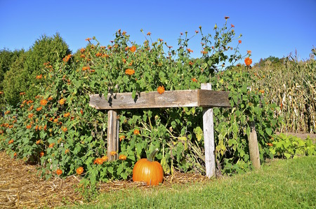 shocks: Orange flowers and a pumpkins make a beautiful fall scene. Stock Photo