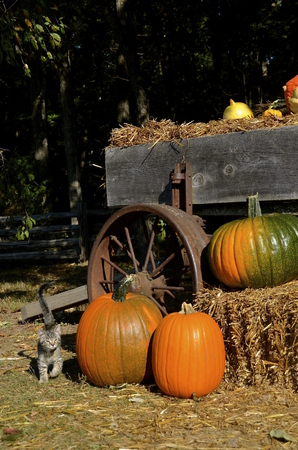 Kitten passes  by an old wagon full of pumpkins, squash, and gourds.
